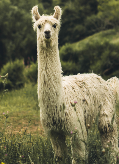 Llama Crafts for Kids